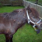 akupunktur-pferd2