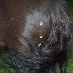 akupunktur-pferd3